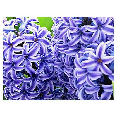 Hyacinth Flower Wall Art Poster