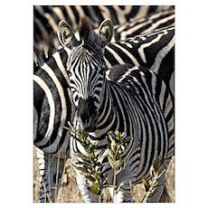 Zebras Wall Art Poster
