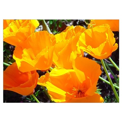 best of california poppies framed photograph Poster