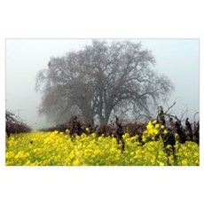 Mustard Like Popcorn Blooming in Vineyard Poster Poster
