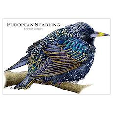 European Starling Wall Art Poster