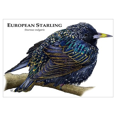 European Starling Wall Art Poster