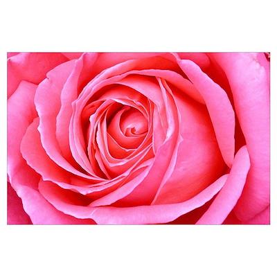 Magenta Rose Blossom Wall Art Poster