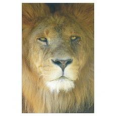 Lion Wall Art Poster
