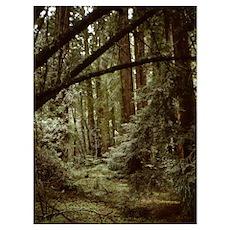 Muir Woods Redwoods Wall Art Poster