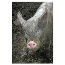 Pig Wall Art Poster