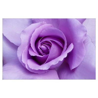 Lavender Rose Blossom Wall Art Poster