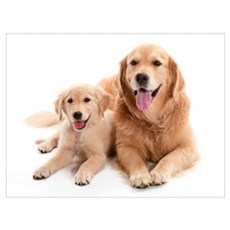 Golden retriever buddies Wall Art Poster