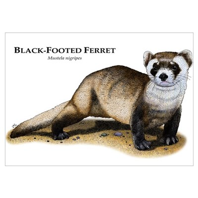 Black-Footed Ferret Wall Art Poster
