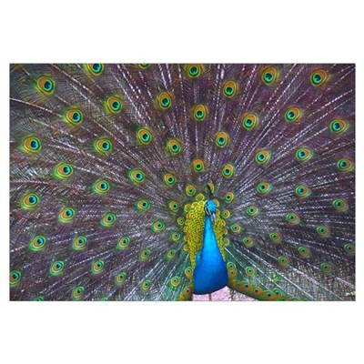 Peacock Full Color Wall Art Canvas Art