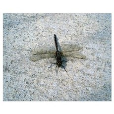 Black and Gold Dragonfly Wall Art Poster