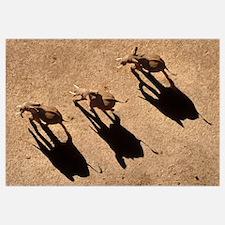 African Elephant (Loxodonta africana) trio aerial
