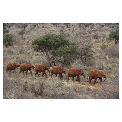 African Elephant young orphans walking in a line t Poster