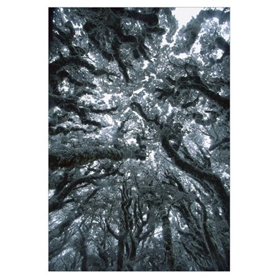 Autumn snow on Beech trees, Routeburn Track, Mt As Poster