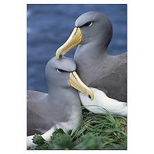 Chatham Albatross (Diomedea eremita) affectionate