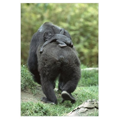 Western Lowland Gorilla mother walking away with 4 Poster