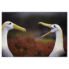Waved Albatross (Diomedea irrorata) courtship disp