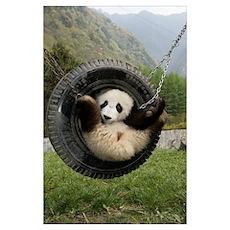 Giant Panda cub playing in tire swing, Wolong Natu Poster