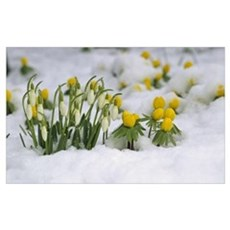 Snowdrops (Galanthus nivalis) blooming in snow, Ge Poster