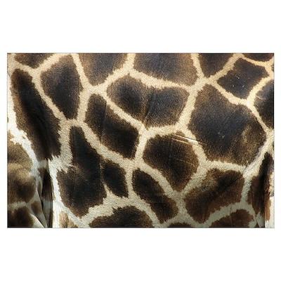 Rothschild Giraffe (Giraffa camelopardalis rothsch Poster