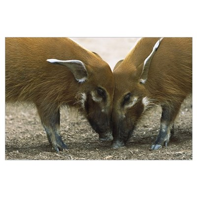 Red River Hog pair standing face to face, a highly Poster
