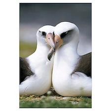 Laysan Albatross (Diomedea immutabilis) pair bondi