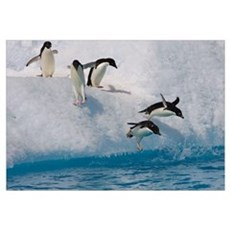 Adelie Penguin group jumping and diving off iceber Canvas Art