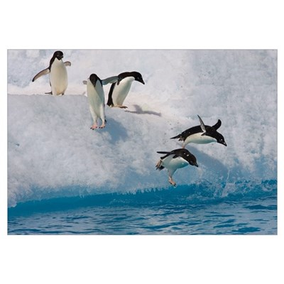 Adelie Penguin group jumping and diving off iceber Framed Print