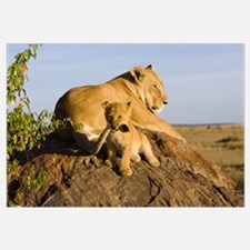 African Lion cub playing with its mother's tail, v