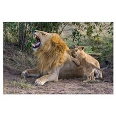 African Lion cubs playing with adult male, Kenya Poster