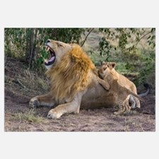 African Lion cubs playing with adult male, Kenya