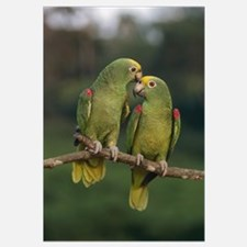 Yellow-crowned Parrot (Amazona ochrocephala) pair,