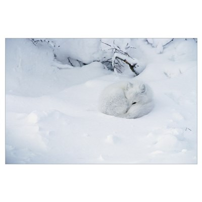 Arctic Fox (Alopex lagopus) curled up in the snow, Poster