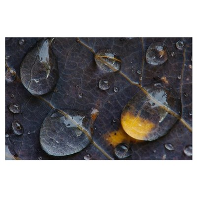 Water drops on a leaf, Goldenstedt, Lower Saxony, Poster