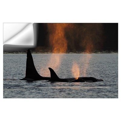 Orca (Orcinus orca) resident pod spouting, Prince Wall Decal