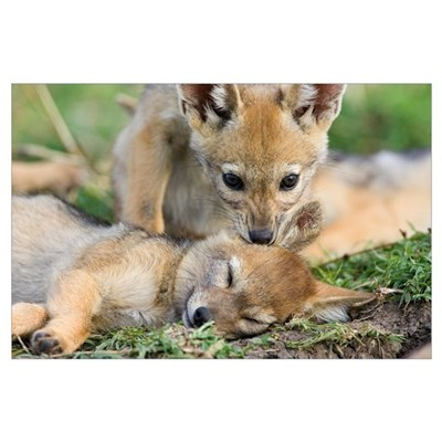 Black-backed Jackal (Canis mesomelas) pups, six we Poster
