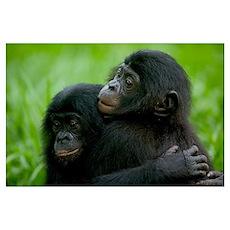 Bonobo pair of orphans hugging, Democratic Republi Poster