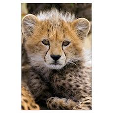 Cheetah (Acinonyx jubatus) cub portrait, Maasai Ma Poster