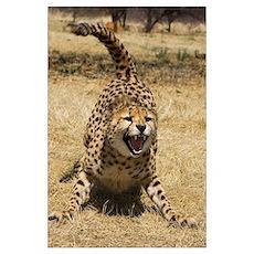 Cheetah (Acinonyx jubatus) hissing, Cheetah Conser Poster