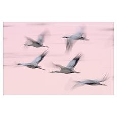 Common Cranes in Flight (Grus grus) Poster