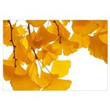 Ginkgo leaf Framed Prints