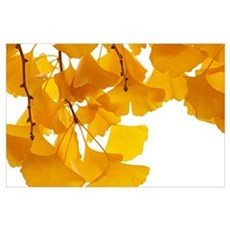 Ginkgo (Ginkgo biloba) leaves in autumn, Netherlan Poster