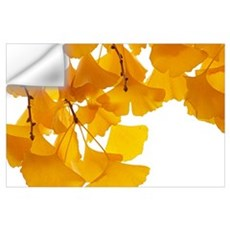 Ginkgo (Ginkgo biloba) leaves in autumn, Netherlan Wall Decal