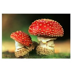 Fly Agaric (Amanita muscaria) pair, highly toxic, Poster