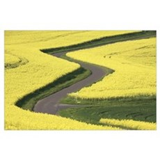 Field Mustard (Brassica rapa) fields and road, Fra Poster