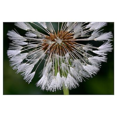 Dandelion (Taraxacum officinale) seedhead Poster