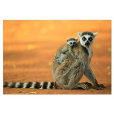 Ring-tailed Lemur mother with baby clinging to her Framed Print