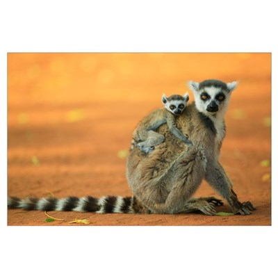 Ring-tailed Lemur mother with baby clinging to her Poster