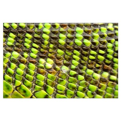 European Green Lizard Scales (Lacerta viridis) Poster