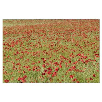 Red Poppy (Papaver rhoeas) in a cereal field, Yonn Poster